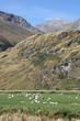 Sheep in mountains - Mount Aspiring National Park