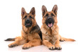 Two german shepherd dogs on a white background..