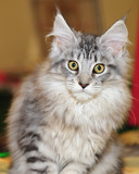 Chat Maine Coon poster