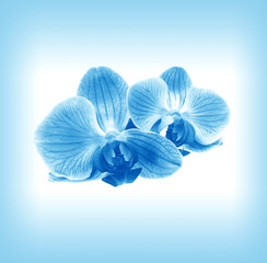 Flower  orchid in blue mist
