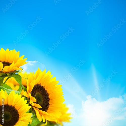 bouquet de fleurs de tournesols - fond ciel bleu et soleil