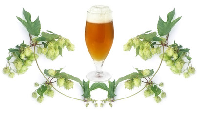 frosty golden beer in glass and hop-plant on white background