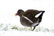 Poule d'eau (gallinula chloropus)