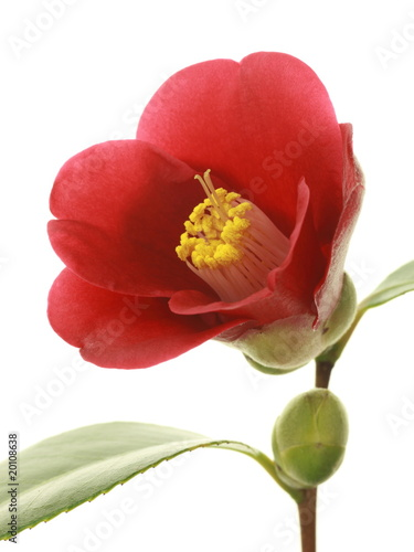 Camellia japonica 'Benitsukasa'