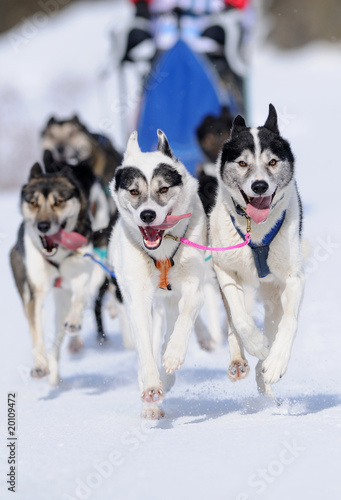 Huskies running