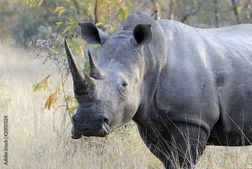 Huge male rhino