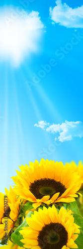 bannière skyscraper - fleurs tournesols sur ciel bleu et soleil