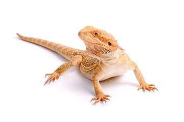 Pogona Vitticeps, Bartagame, Bearded Dragon