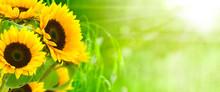 """Постер, картина, фотообои """"nature et énergie - fleurs de tournesols sur fond vert"""""""