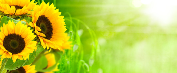 nature et énergie - fleurs de tournesols sur fond vert © Olivier Le Moal