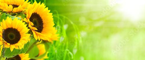 Poster Cultuur nature et énergie - fleurs de tournesols sur fond vert
