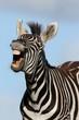 Quadro Laughing Zebra