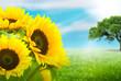 fleurs de tournesol dans un pré sur fond vert et bleu ciel