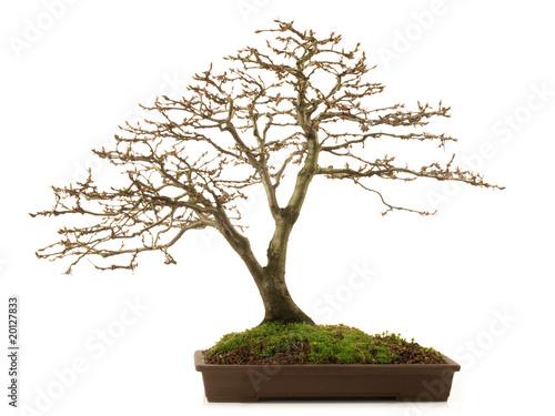 bonsai ohne bl tter stockfotos und lizenzfreie bilder. Black Bedroom Furniture Sets. Home Design Ideas