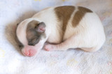 Sleeping newborn Chihuahua puppy