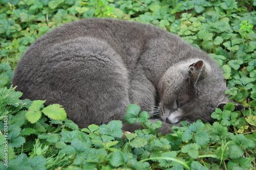 curled grey cat