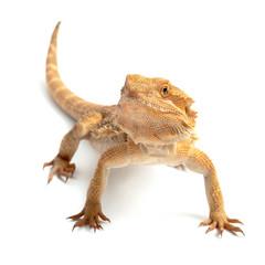 freigestelltes Reptil vor weißem Hintergrund