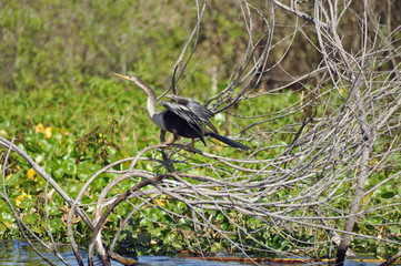 beautiful anhinga bird
