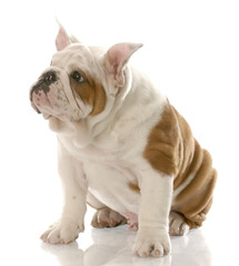 bulldog puppy with ears standing straight up - three months