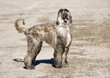 Archie the Afghan Hound poster