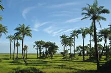"""Постер, картина, фотообои """"rice field in casamance senegal"""""""