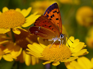 Scarce Copper butterfly,  Lycaena virgaureae