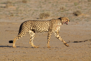 Stalking Cheetah, Kalahari desert, South Africa