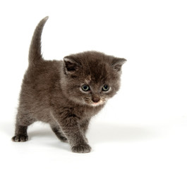 Cute gray kitten standing