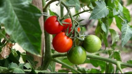 Tomaten4333