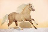 welsh pony stallion poster