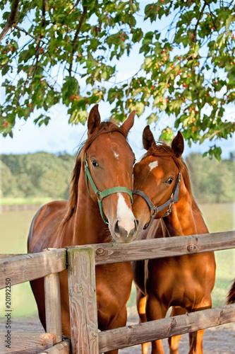 dwa-konie-w-padoku