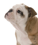 portrait of nine week old english bulldog puppy on white