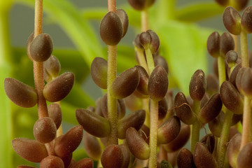 Macro of tuberous plant on natural green background