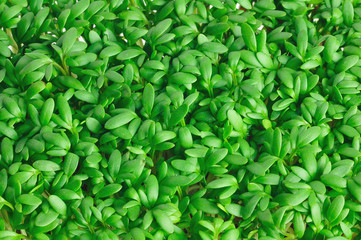 frischer Gartenkresse