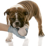veterinarian hand holding wounded paw of  bulldog puppy poster