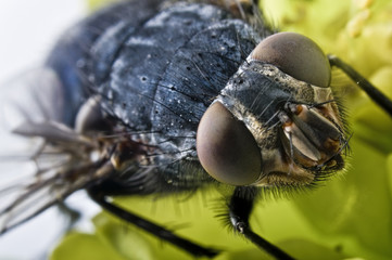 extrem close-up of a fly head