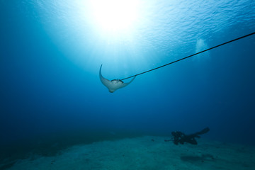 spotted eagle ray and ocean