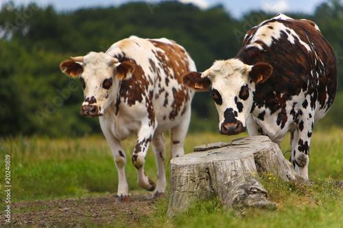 Papiers peints Vache normandes au prè