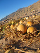 yellow pumpkins in desert