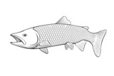 salmon fish illustration on a white background