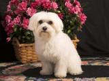 maltese dog poster