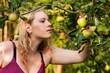 Ernte - Äpfel pflücken