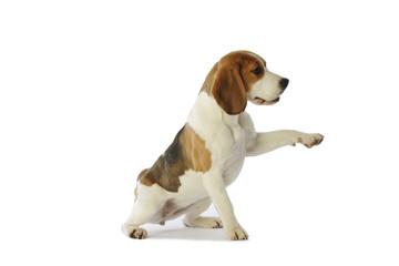 beagle donnant la patte pour demander quelque chose