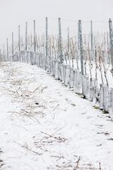 winter vineyards, Czech Republic