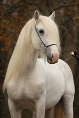 White percheron horse