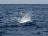 Sailfish saltwater sport fishing jumping poster