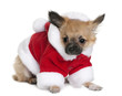 Chihuahua puppy in Santa Claus suit, standing