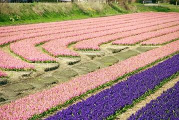 Hyacinth flowers at a nursery