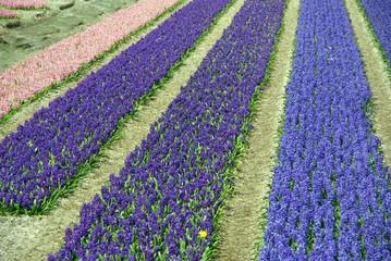Hyacinth flowers in a row