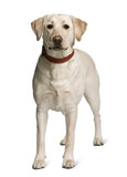 Labrador standing in front of white background, studio shot